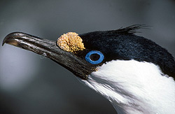 Blue eyed or Imperial shags
