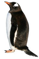 Penguins only live at the South pole