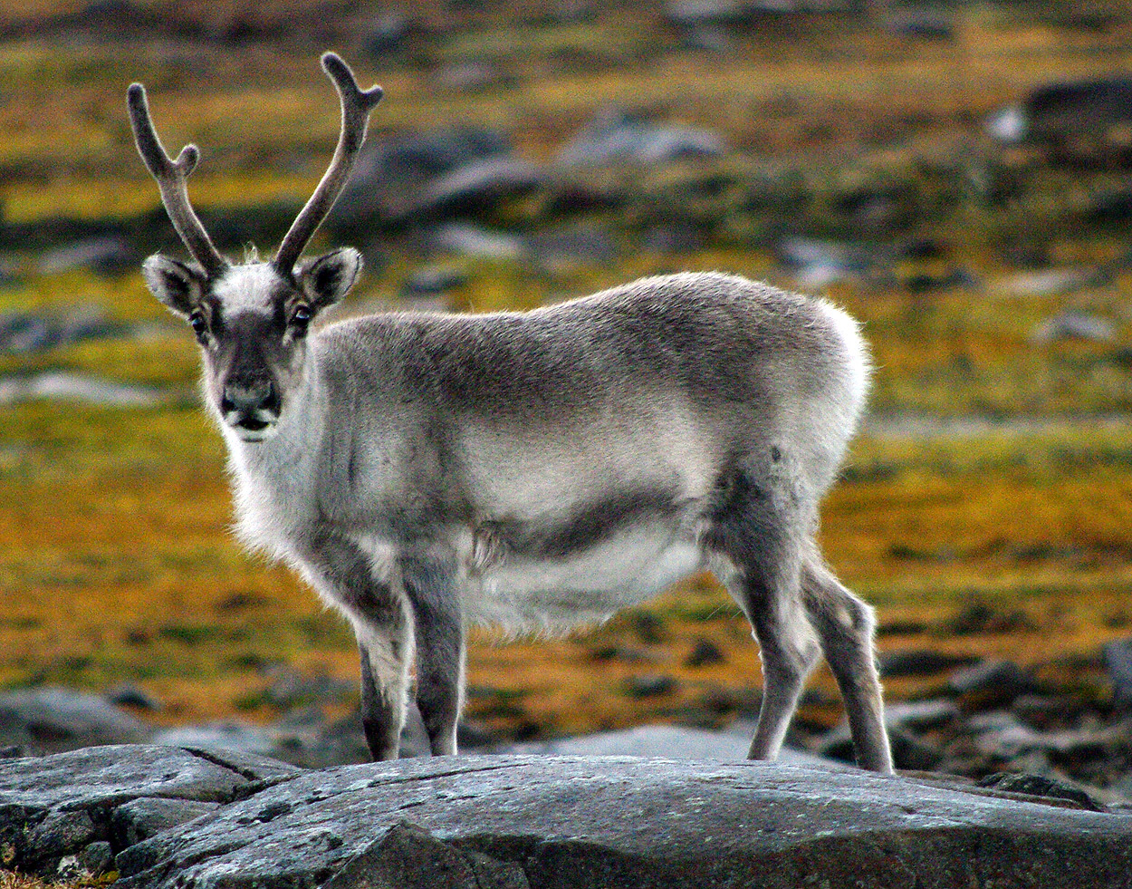 Reindeer Of The Arctic, Facts And Adaptations