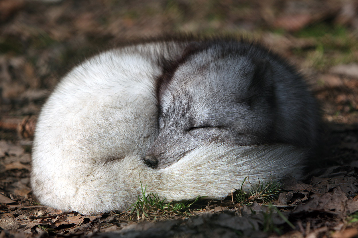 Arctic Foxes Facts and Adaptations - Vulpes lagopus ...
