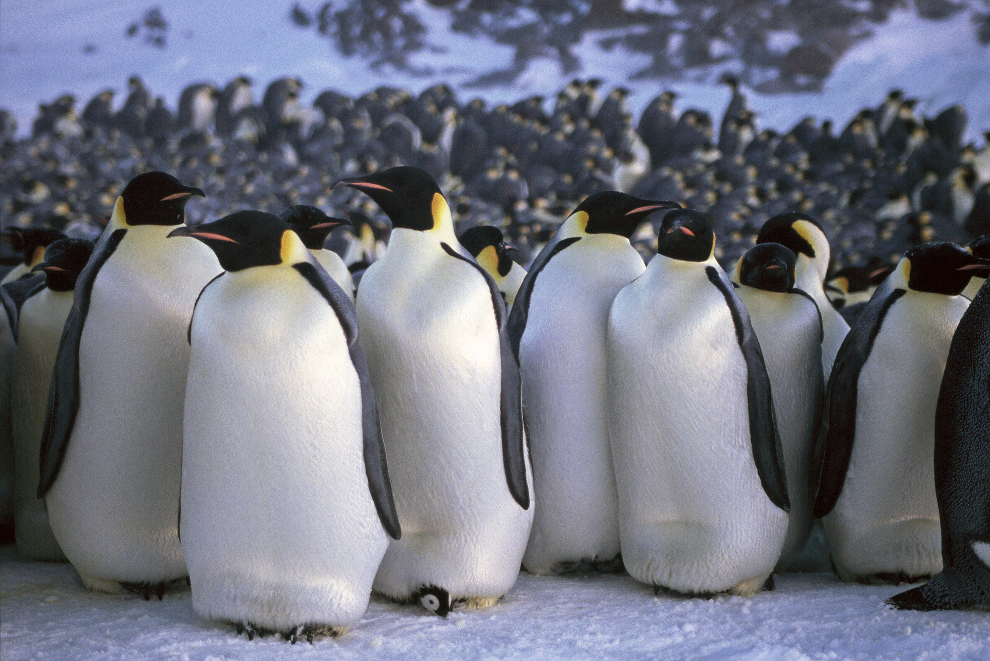 What do emperor penguins look like
