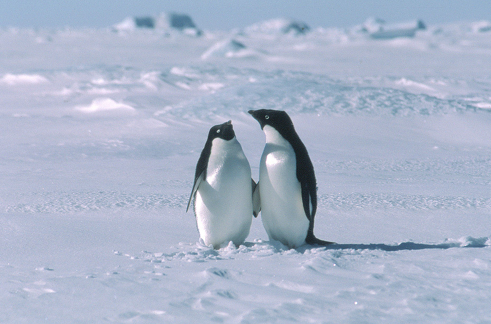 Penguins, small vertical animals