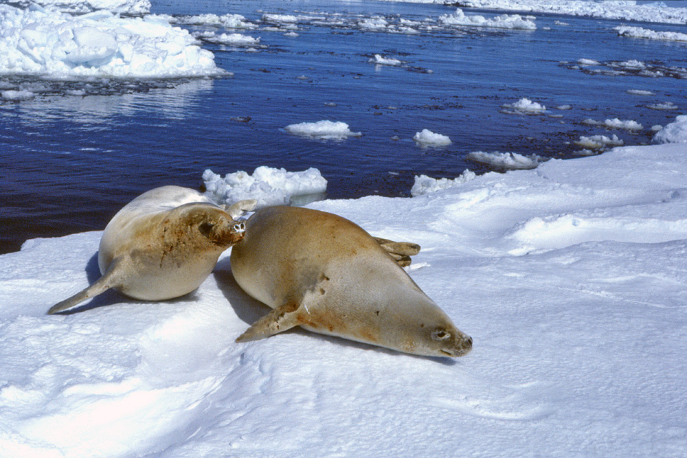 the hooded seal essay Baculum and testes of the hooded seal (cystophora cristata): growth and size-scalingand their relationships to sexual selection edward h miller, ian l jones, and garry b stenson.