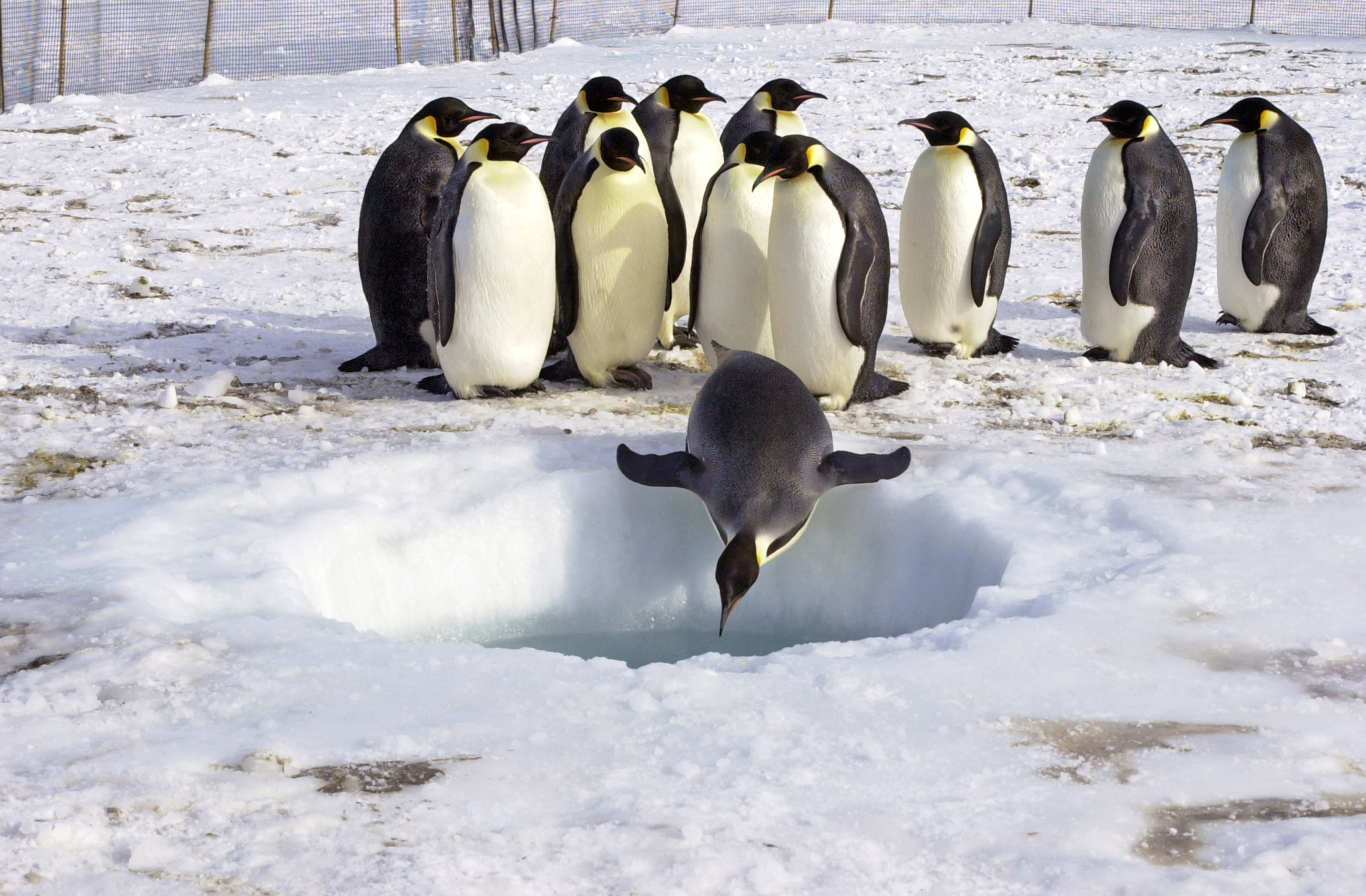 Emperor penguin facts for Penguin and fish