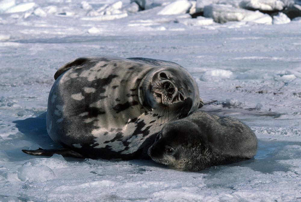 Antarctic seals