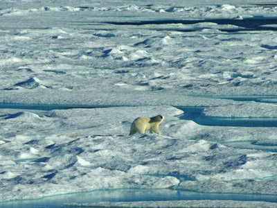 Polar Bear Pack Ice in Baffin Bay between Baffin Island and Greenland